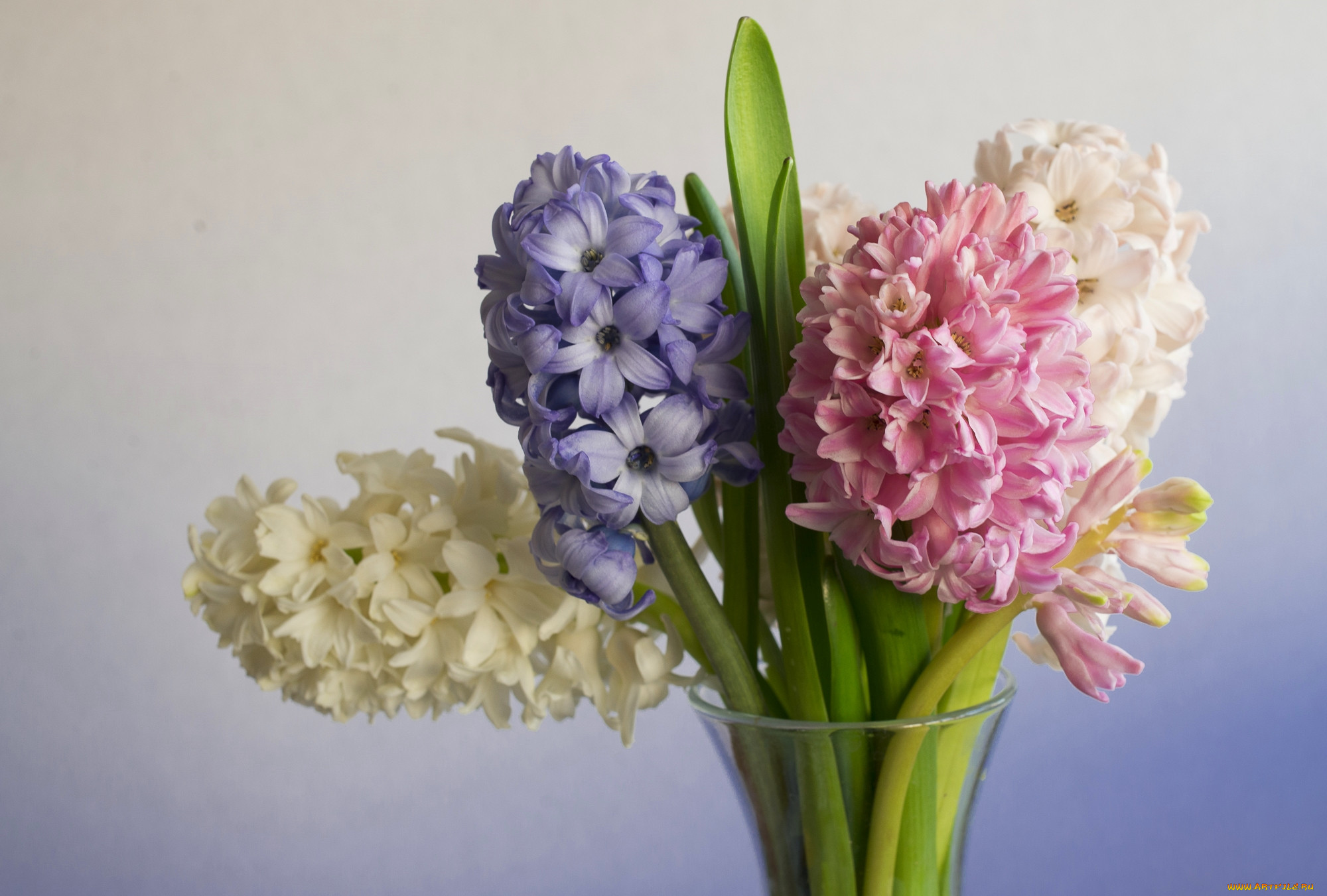 отметил цветы гиацинты фото букеты сооружение